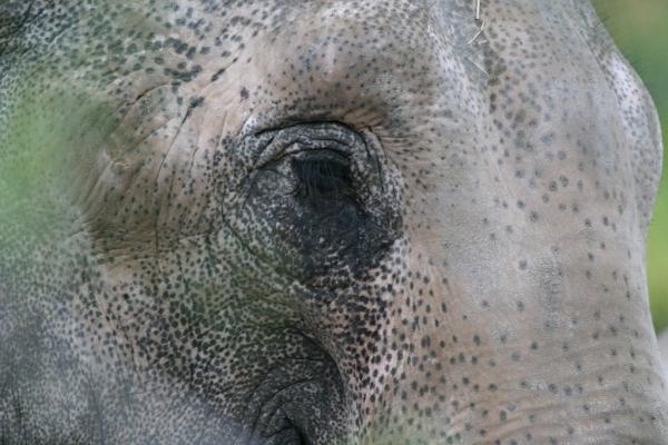 aziatische-olifant-annabel-02676245A688-5074-6843-110D-2CBD3B2708F6.jpg